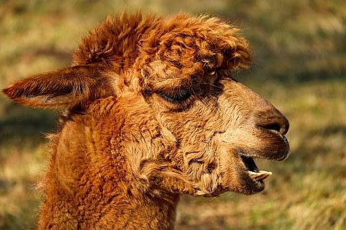 A llama from Llima